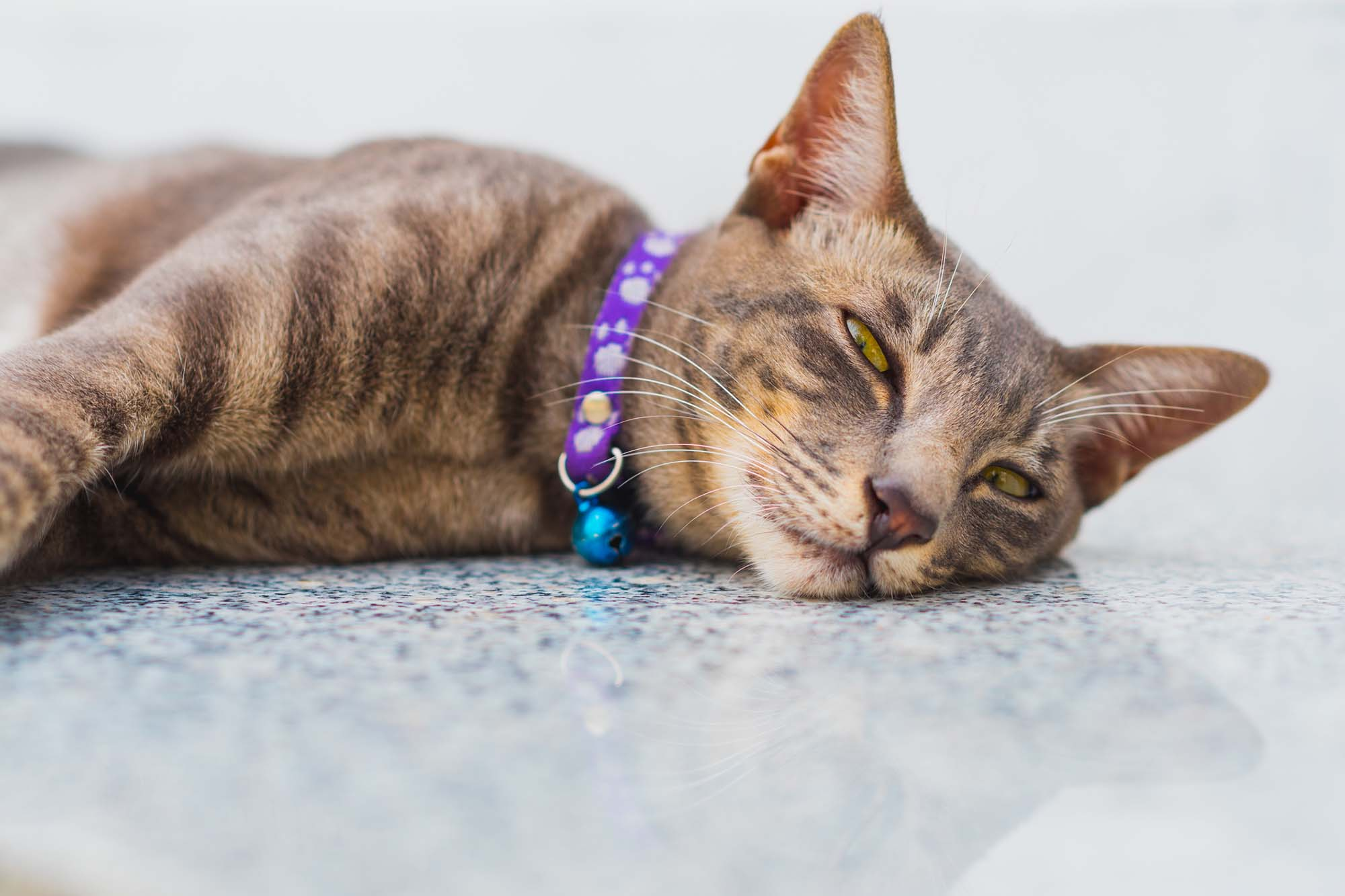 Tired cat with purple collar