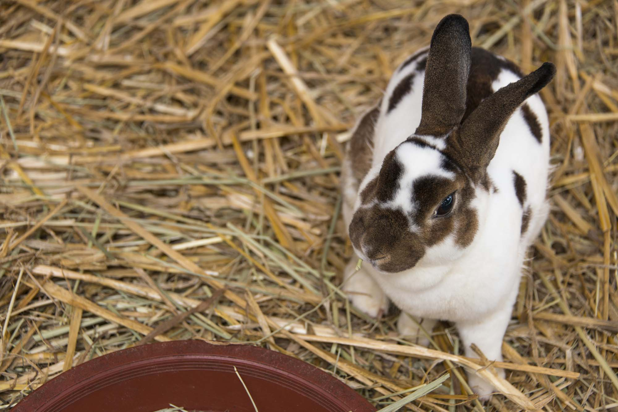 Brown and white rabbit sitting on straw